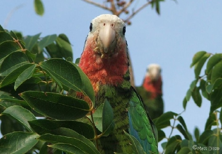 Abaco Parrots